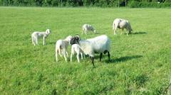 Running sheep - stock footage
