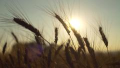 Wheat Ear in Crop Field Sun Background Stock Footage
