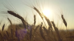 Wheat Ears in Crop Field Sun Background Stock Footage