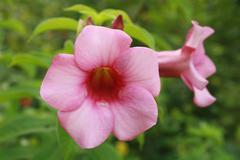 Allamanda Flowers Stock Photos