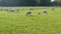 Browsing sheep - stock footage