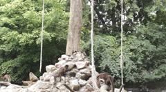 Monkeys on the animal playground zoo 11 Stock Footage