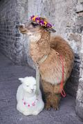 Alpaca in dali china. - stock photo