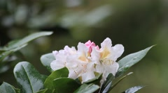 Rhododendron blossom white, orange inside, Spring Awakening Stock Footage