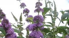 Butterfly lilac, lilac purple inflorescence, Buddleja davidii Stock Footage