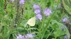 Brimstone butterfly on purple flower tufts Phacelia Stock Footage