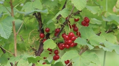 Red currants on the bush, Ribes rubrum Stock Footage