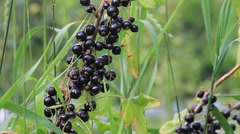 Black currant on the bush, Ribes nigrum Stock Footage