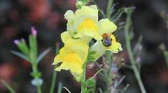 Bee on flower yellow snapdragon in the garden, Antirrhinum Stock Footage
