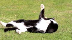 Cat, black white male cat, rolling in grass and cleaning itself Stock Footage