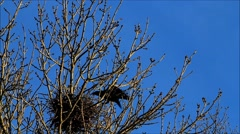 Raven, nest building, springtime, home Stock Footage