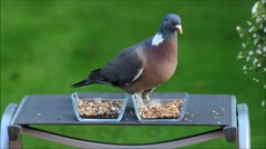 Pigeon closeup, glass bowls with grain feed, green background Stock Footage