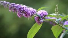 Butterfly lilac, lilac purple inflorescence, Buddleja davidii - stock footage