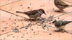 Wild birds pecking birdseed Stock Footage