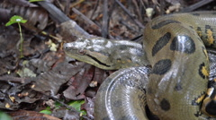 Anaconda slithering away in the Amazon rain forest in Peru Stock Footage
