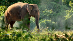 Elephant in the tropical forest, Thailand. - stock footage