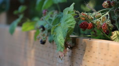 Ripening berries on a wooden fence Stock Footage