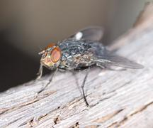 House fly close up Stock Photos