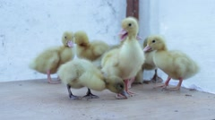 Yellow ducklings called his mom Stock Footage