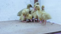 ducklings find food - stock footage