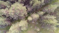 Pine tree forest Stock Footage