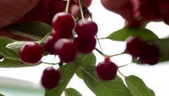 Harvesting, ripe cherry Stock Footage