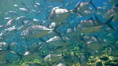 Huge school of bigeye trevally (Caranx sexfasciatus) with giant trevally Stock Footage