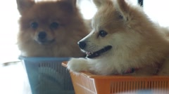 Pomeranian laying in the basket Stock Footage