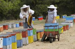 Beekeepers collecting honey from colourful beehives situated close to pine tr Stock Photos