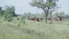 Cows returning from the pasture Stock Footage