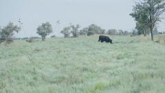 Bull grazing in the field Stock Footage