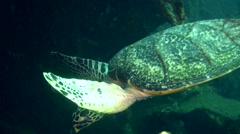 Hawksbill turtle (Eretmochelys imbricata) swimmimg towards camera Stock Footage