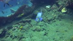 Bignose unicornfish (Naso vlamingii) Stock Footage