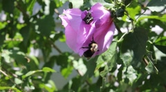 Bumblebee and beetles on a purple flower Stock Footage