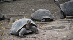 Giant Tortoises Stock Footage