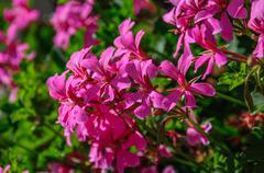 Beautiful pink flowers pelargonium hang-downing in macro - stock photo