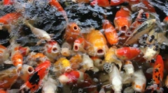 Koi carps in a fish pond Stock Footage