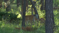 White-tailed Doe and Twin Fawns Feeding in Forest - stock footage
