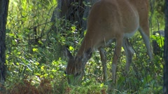 White-tailed Deer Doe and Fawn Feeding in Forest Stock Footage