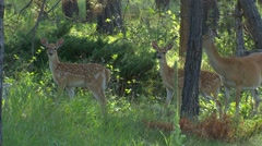 White-tailed Deer Doe and Twin Baby Fawns in Forest Stock Footage
