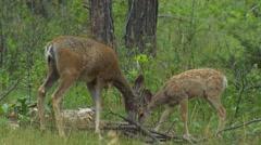 Mule Deer Doe and Fawn Feeding in Western Pine Forest Stock Footage