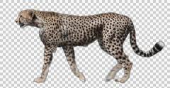 Cheetah Walking Stock Footage