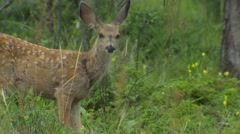 Mule Deer Spotted Fawn Feeding in Green Forest in Summer Stock Footage
