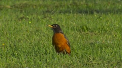 American Red-breasted Robin Hunting for Worms in Lawn Stock Footage