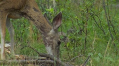 Mule Deer Doe Feeding in Summer with Hair Loss - stock footage