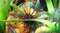 Reef urchin under the water Caribbean sea - stock footage