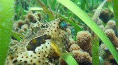 Tropical fish bridled burrfish close up Stock Footage