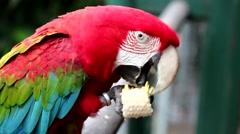 Red Macaw, Ara chloropterus or harlequin Stock Footage