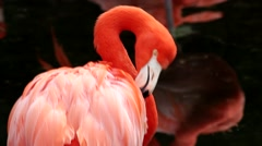 Pink Flamingo. cleans its feathers Stock Footage