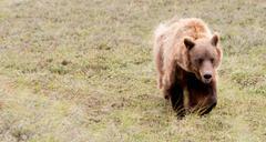 Large Grizzly Bear Grazes Denali National Park Wildlife - stock photo